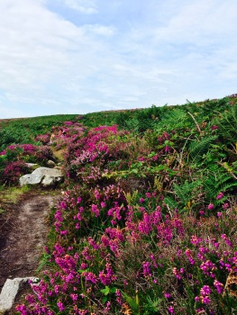 Heather on Ramsey Island