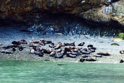 Seals on Ramsey Island